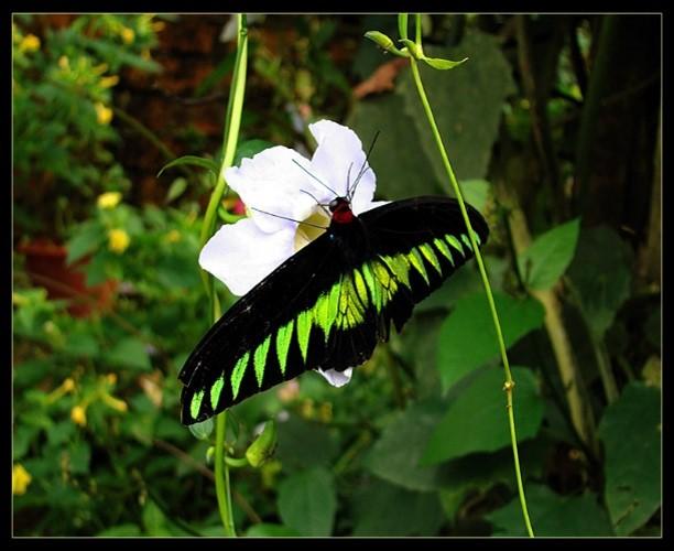 rajah-brooke-butterfly-trekking